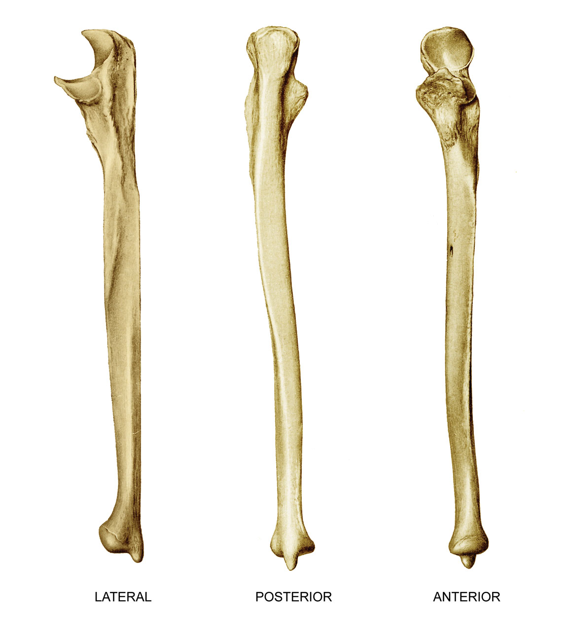 anatomyEXPERT - Styloid process of the ulna - Structure Detail